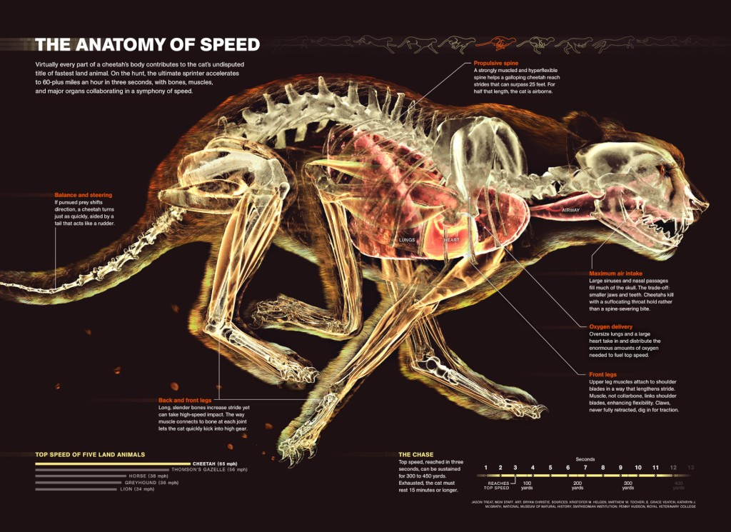 The Anatomy of Cheetah Speed - Skeleton | PiTribe