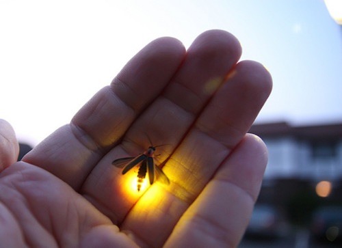 A Little Lit of Firefly Glows in Hand firefly,light,electricity,animal