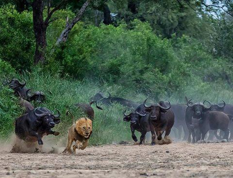 For how long in power tiger,lion,hunt,cow,follow